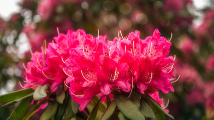 Red Rhododendron Flowers at Floriade in Canberra, Australia.
