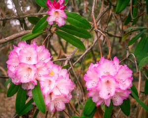 Pink Rhododendron Flowers in Canberra, Australia
