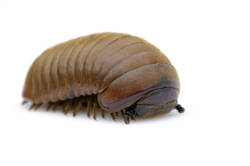 Image of pill millipede(Oniscomorpha) isolated on a white background. Insect. Animal.