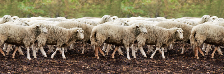 Sheep muzzle outdoors. Standing and staring breeding agriculture animal. Panoramic