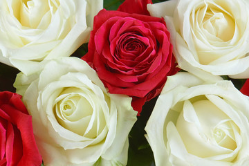 A large bouquet of red, pink and white roses close-up. Background of roses. Congratulations on the holiday. Love and tenderness.