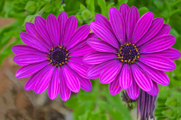 Asteraceae, two purple daisies on green blurred background