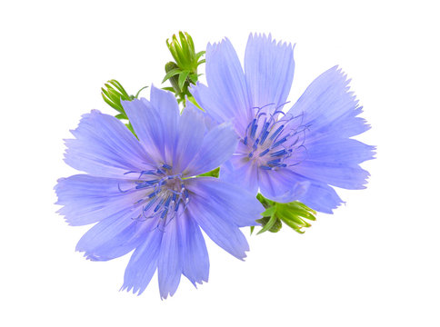 Common chicory or Cichorium intybus flowers. Isolated on white.