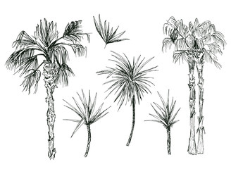 Set of isolated coconut or queen palm trees with leaves. Beach and rainforest, desert coco flora. Foliage of subtropical fern. Sketch palmae or jungle arecaceae.Island climate,botany, environment