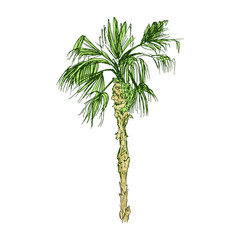Isolated coconut or queen palm tree with leaves. Beach and rainforest, desert coco flora. Foliage of subtropical fern. Green palmae or jungle arecaceae.Island climate,botany, environment theme