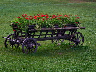 Old carriage holding flower pots filled with red geraniums, set on a lush green lawn