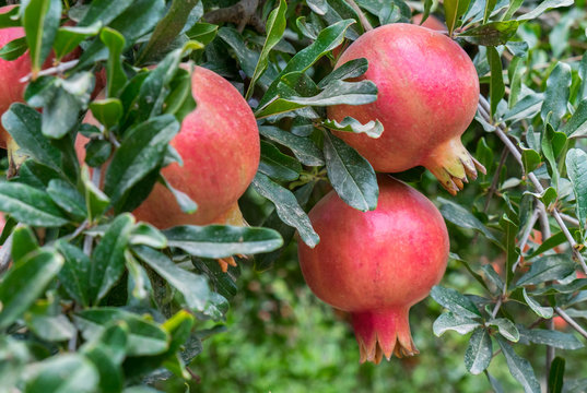Ripe red pomegranate fruits growing on a green branch