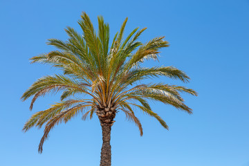 Beautiful palm tree against a clear blue sky