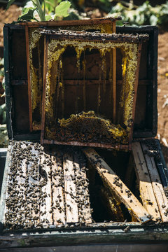Honeybees collecting honey from beehive