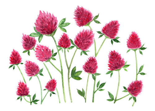 Red clover. Watercolor illustration.