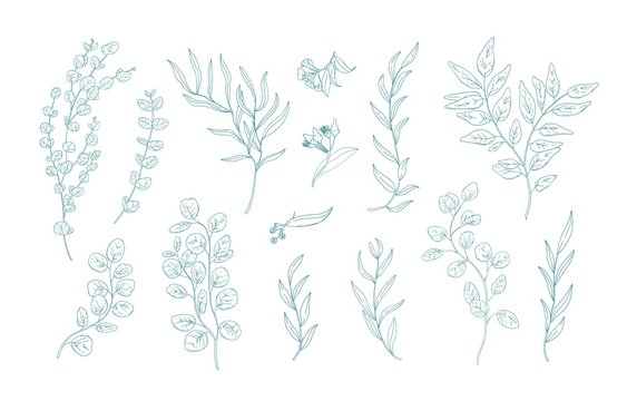 Collection of various eucalyptus branches with leaves hand drawn with green contour lines on white background. Bundle of botanical design elements. Monochrome realistic floral vector illustration.