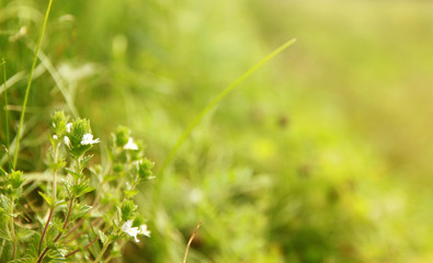 Background of grass and little white flowers
