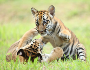 the baby tiger playing with other