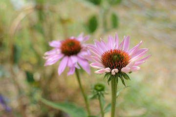 Two echinacea flowers with pale pink petals