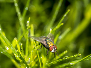 housefly, Musca domestica is a fly of the suborder Cyclorrhapha