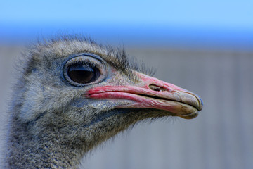 The head of an ostrich close-up on a blurred background. Red beak, surprised big eyes and tousled bristles. Shallow depth of field.