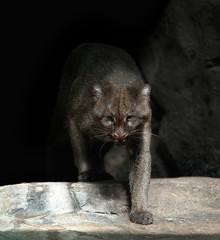 Jaguarundi wild cat on dark background