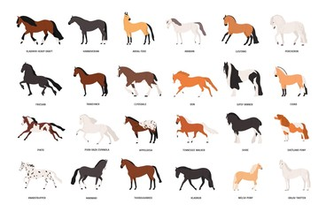 Fototapeta Collection of horses of various breeds isolated on white background. Bundle of gorgeous domestic equine animals of different types and colors. Colorful vector illustration in flat cartoon style.