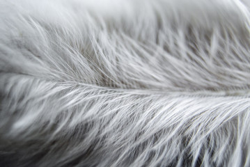 Сhicken white feather macro background