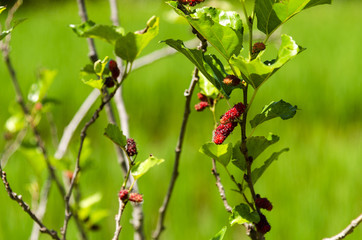 Mulberry is a fruit that is sweet or sour, can cook a variety of types.