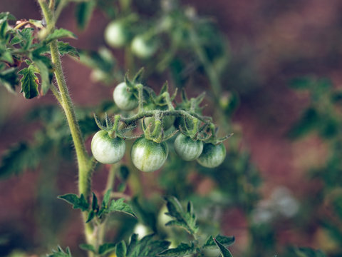 Green tiny tomatoes on branch