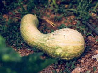squash growing on ground