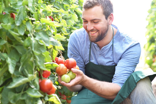 glücklicher Gärtner kontrolliert reife Tomaten vor der Ernte im Gewächshaus - Anbau von Gemüse // lucky gardener controls ripe tomatoes before harvesting in the greenhouse - cultivation of vegetables