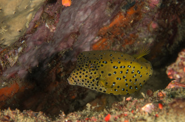 Yellow Boxfish, Ostracion cubicus.