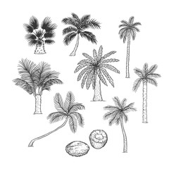 Vector sketch set of palm. Different kinds of tropical trees and coconut. Contour black illustration isolated on white background.