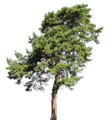 Pine conifer tree, isolated