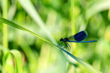 Blue dragonfly sits on a green leaf of grass in sunny summer day