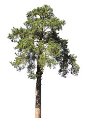 Scotch fir, pine conifer tree, isolated