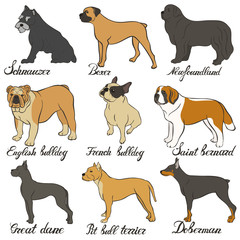 Boxer, doberman, english bulldog, french bulldog, newfoundland, pit bull terrier, saint bernard, schnauzer, great dane vector dog breed set. FCI Pinscher and Schnauzer breeds of universal appointment.