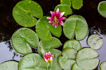 Wall Murals Water lilies Pacific Tree Frog on Water Lily Flower in backyard garden pond Aerial View