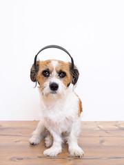Hund mit Musikkopfhörern auf dem Kopf, weißer Hintergrund