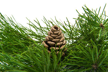 green pine branch isolated