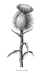 Milk thistle plant botanical hand draw vintage clip art isolated on white background