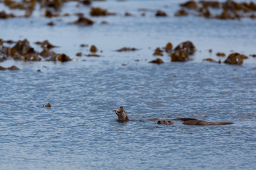 Eurasian otter (Lutra lutra) youngsters Foraging on sea in seaweed