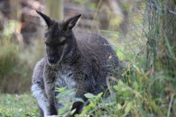 A cute brown Kangaroo sitting on a green meadow