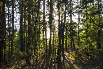 Russian forest in Samara region, Russia, illuminated by the sun
