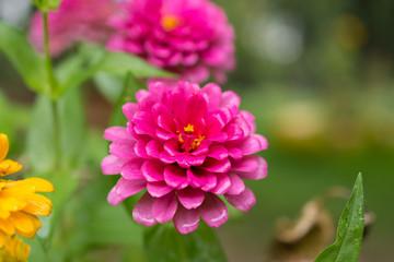 菊・黄色・赤・花・自然・薔薇