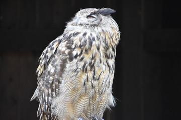 Portrait of a wonderful brown Eurasian Owl sitting on a tree bark