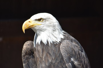 Wonderful majestic portrait of an american bald eagle with a black background