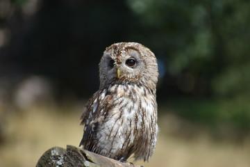 Portrait of a wonderful brown Owl sitting on a tree bark