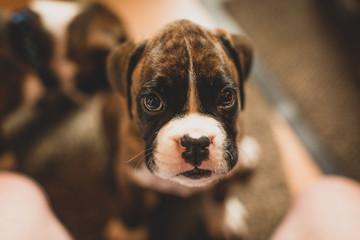 Boxer female puppy