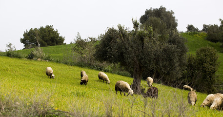 Flock of sheep are grazing together in rural