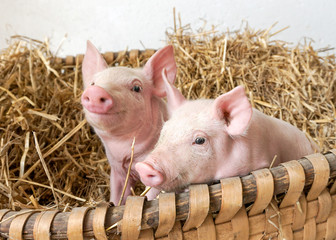 zwei kleine Schweinchen im Strohnest, Schwein, Ferkel, Nest