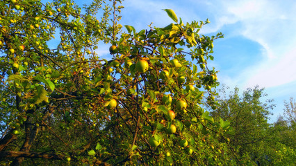 Apple trees at august. Time to harvest.