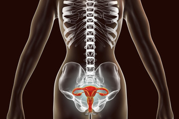 Anatomy of female reproductive system, 3D illustration. Female gynecology organs highlighted inside body