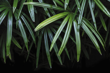 Rhapis excelsa or Lady palm tree in the garden tropical leaves background